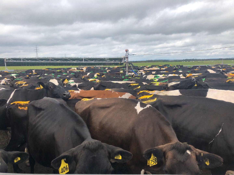 NZ Dairy Cows