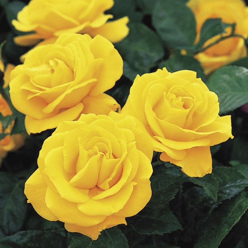 Golden Wedding rose. Picture: David Austin Roses