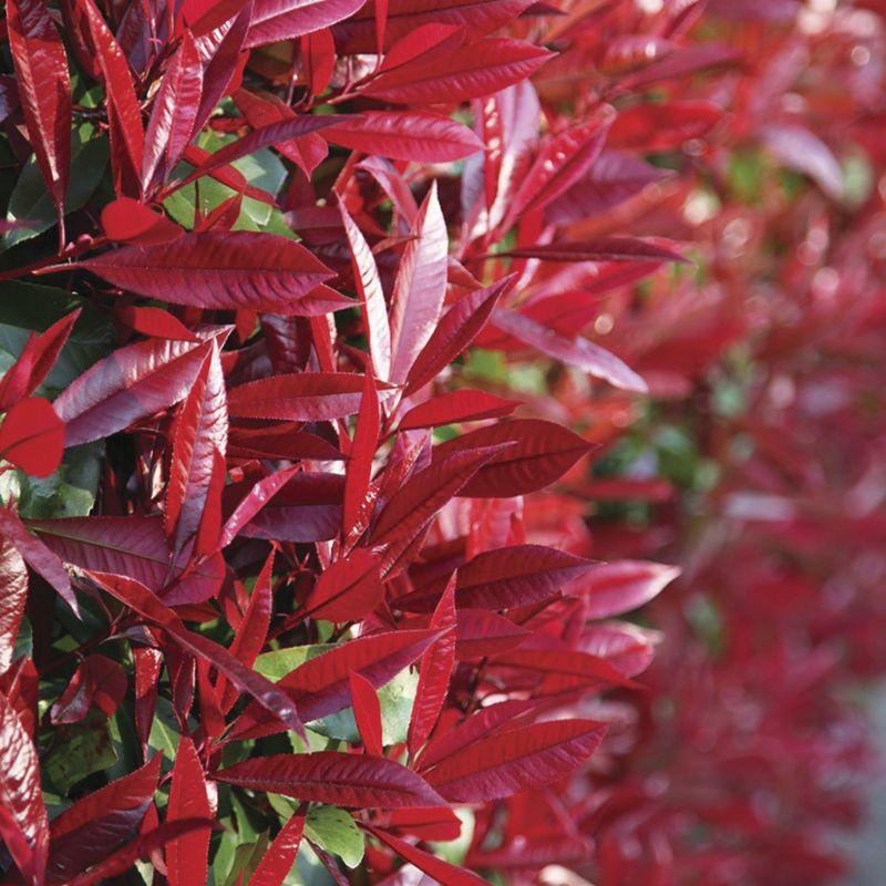 Photinia x fraseri 'Red Robin'. Photo: www.crocus.co.uk