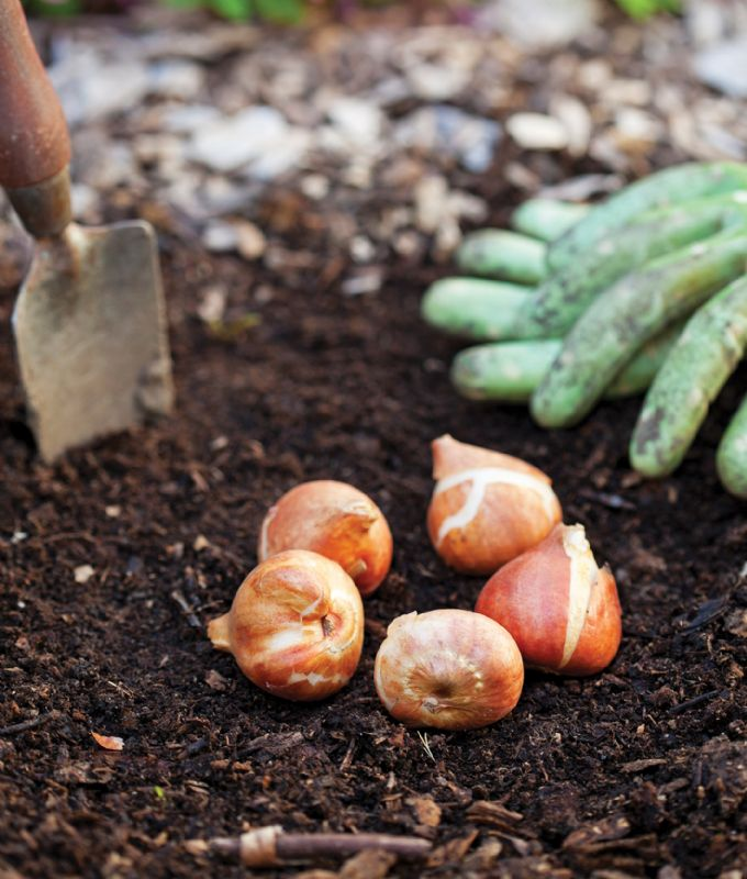 Bulbs being planted in soil in the garden
